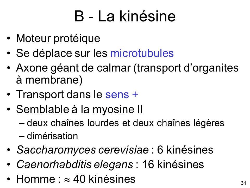 B - La kinésine Moteur protéique Se déplace sur les microtubules