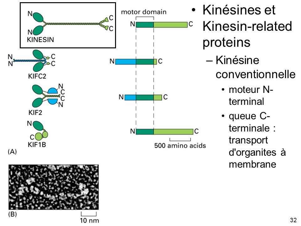Fig 16-55 Kinésines et Kinesin-related proteins