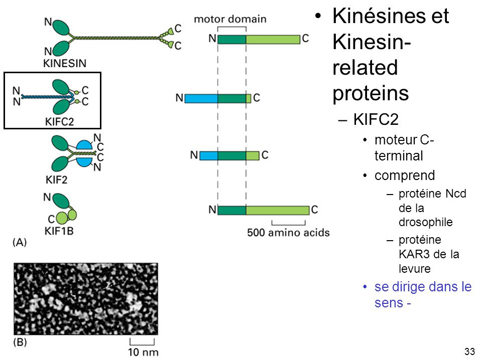 Fig 16-55 Kinésines et Kinesin-related proteins #2p952 KIFC2