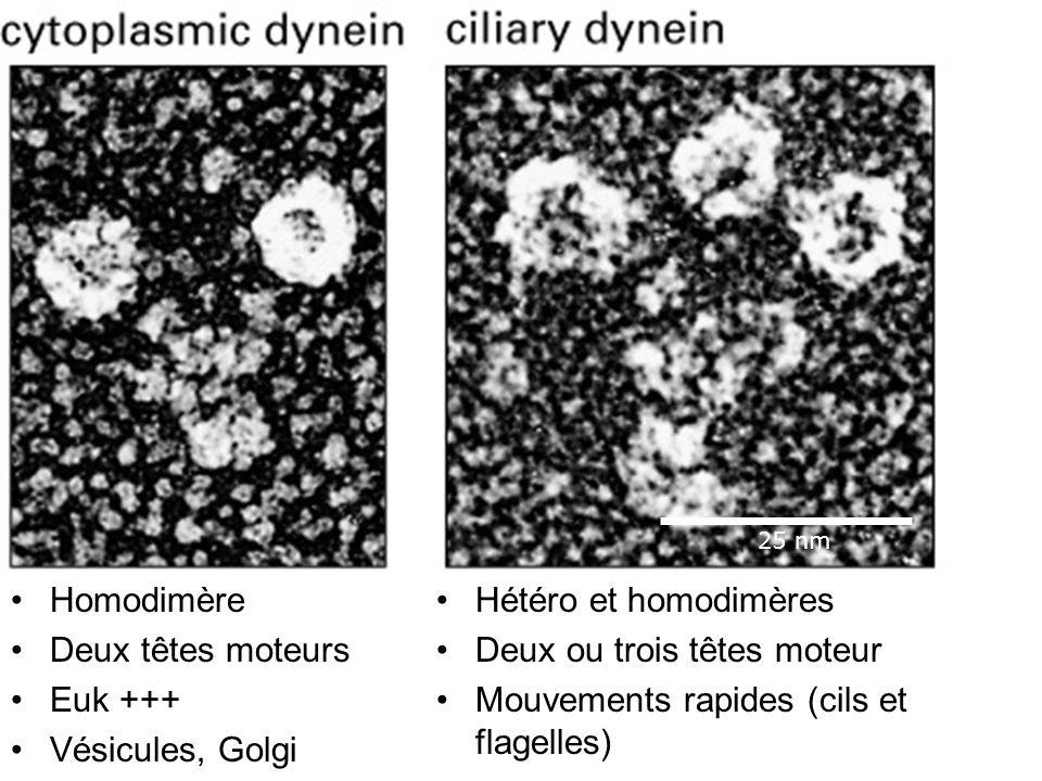 Fig 16-56 Homodimère Deux têtes moteurs Euk +++ Vésicules, Golgi