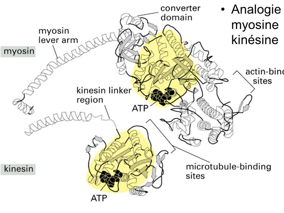 Mercredi 24 octobre 2007 Analogie myosine kinésine Fig 16-57 #3p953