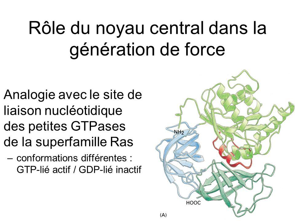 Rôle du noyau central dans la génération de force