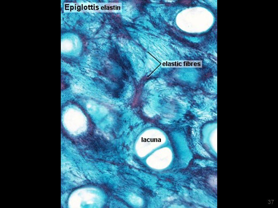 Epiglotte