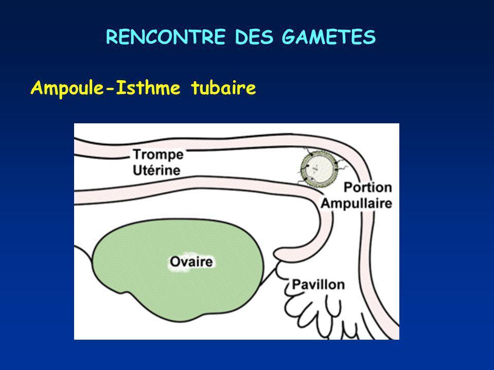 RENCONTRE DES GAMETES Ampoule-Isthme tubaire
