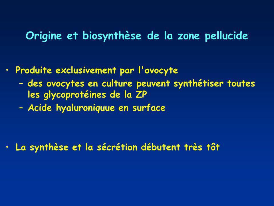 Origine et biosynthèse de la zone pellucide