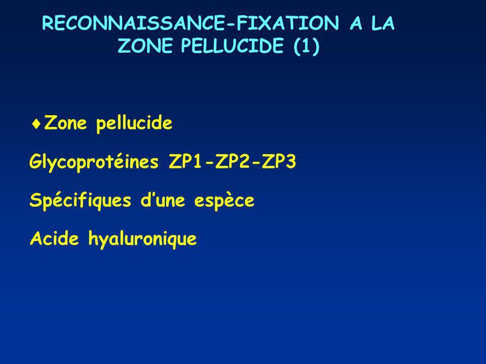 RECONNAISSANCE-FIXATION A LA ZONE PELLUCIDE (1)