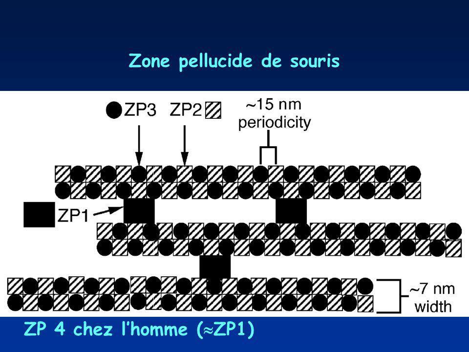Zone pellucide de souris