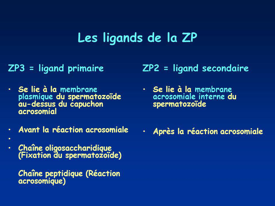 Les ligands de la ZP ZP3 = ligand primaire ZP2 = ligand secondaire