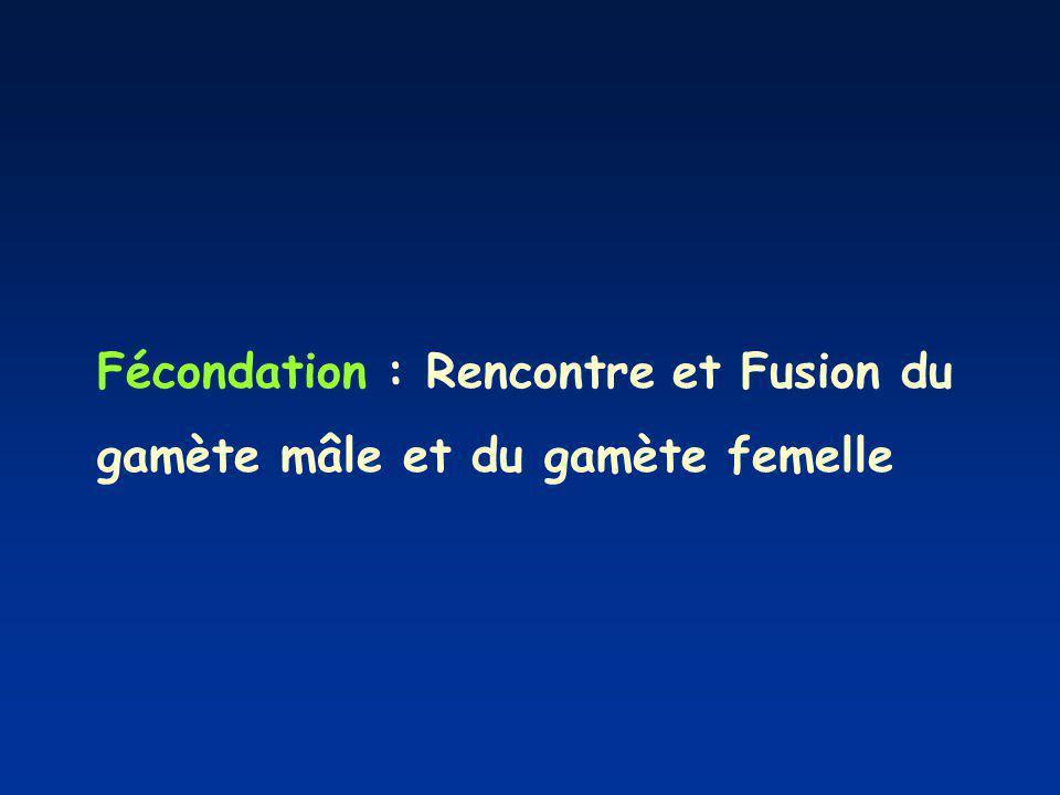 Fécondation : Rencontre et Fusion du gamète mâle et du gamète femelle