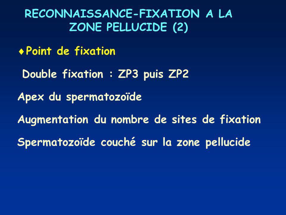 RECONNAISSANCE-FIXATION A LA ZONE PELLUCIDE (2)