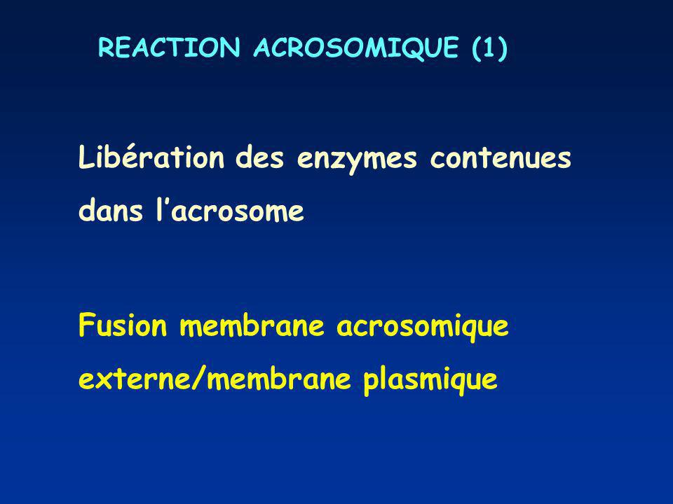 REACTION ACROSOMIQUE (1)