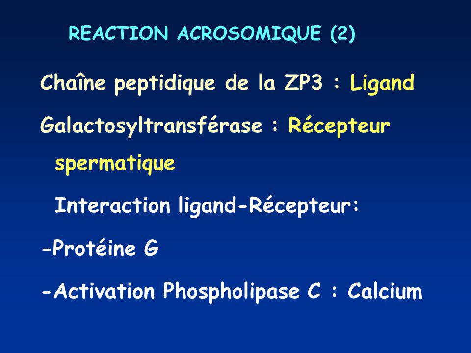 REACTION ACROSOMIQUE (2)