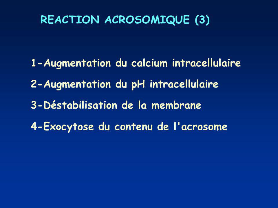 REACTION ACROSOMIQUE (3)