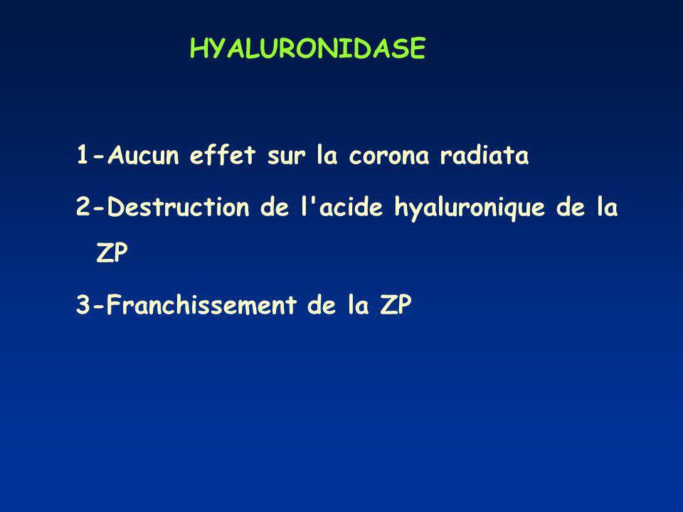 HYALURONIDASE 1-Aucun effet sur la corona radiata