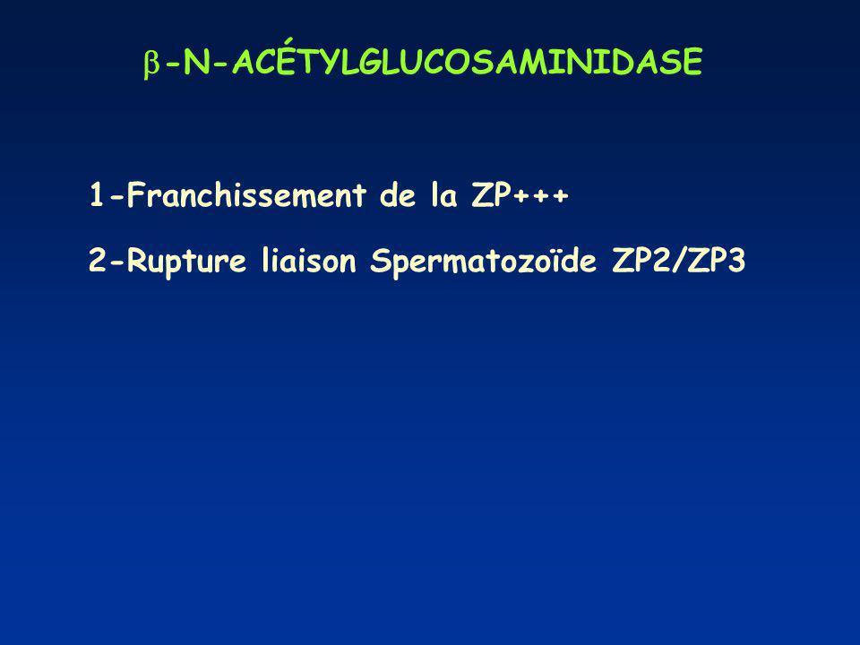 -N-ACÉTYLGLUCOSAMINIDASE