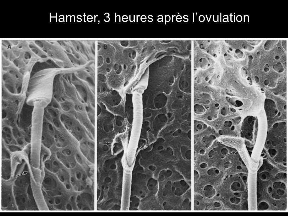 Bedford,JM1998p1275 Hamster, 3 heures après l'ovulation