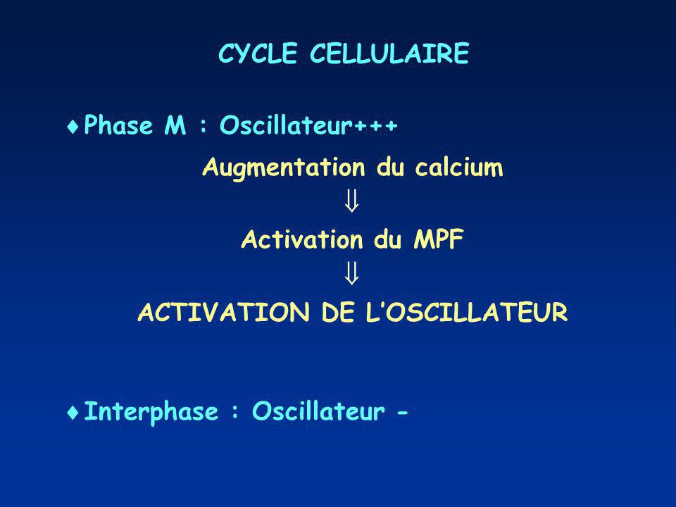 Augmentation du calcium ACTIVATION DE L'OSCILLATEUR
