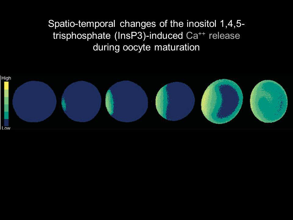 Spatio-temporal changes of the inositol 1,4,5-trisphosphate (InsP3)-induced Ca++ release during oocyte maturation