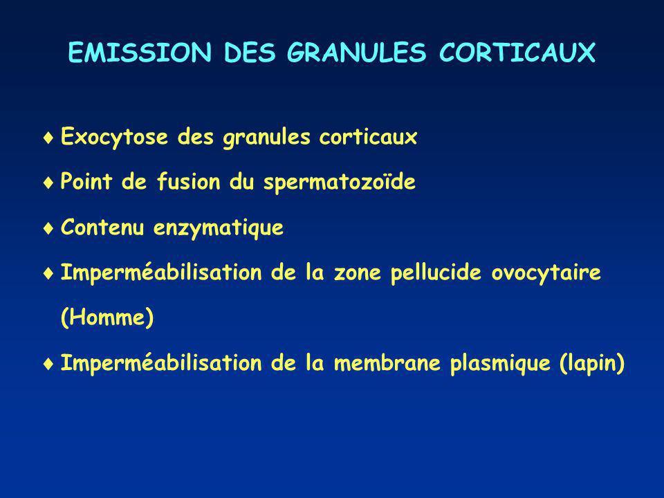 EMISSION DES GRANULES CORTICAUX