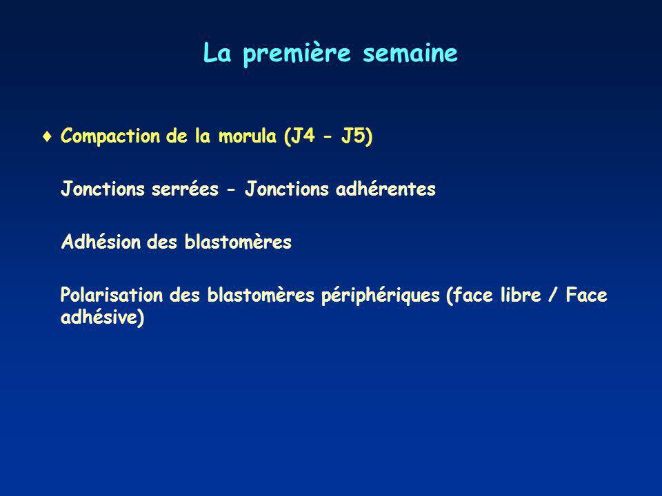 La première semaine Compaction de la morula (J4 - J5)