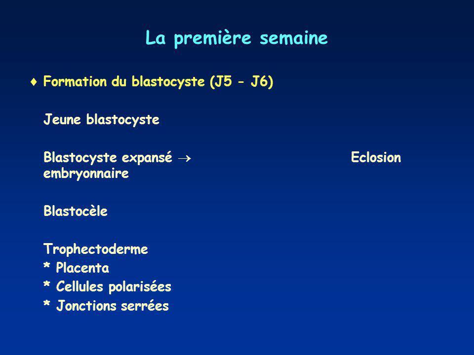 La première semaine Formation du blastocyste (J5 - J6)
