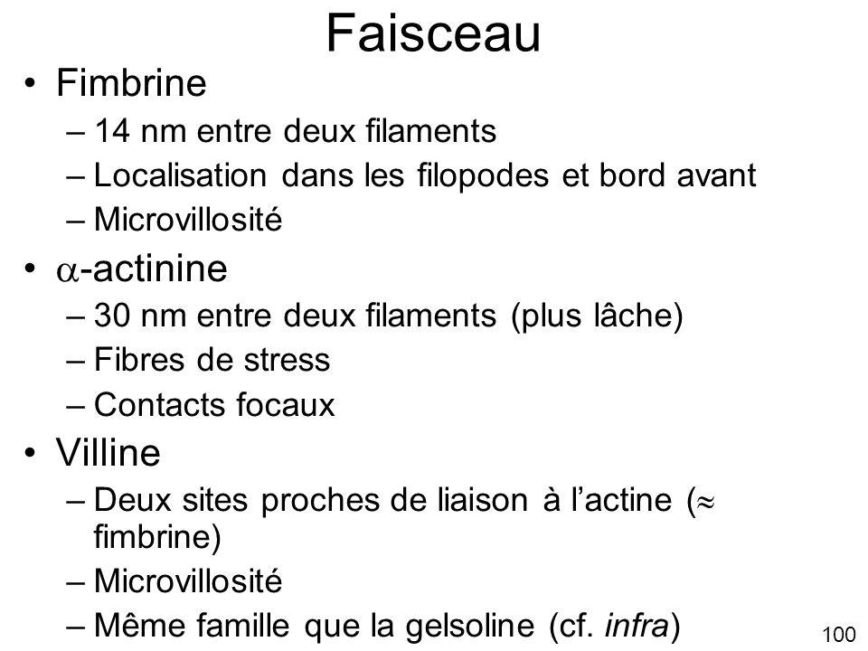 Faisceau Fimbrine -actinine Villine 14 nm entre deux filaments