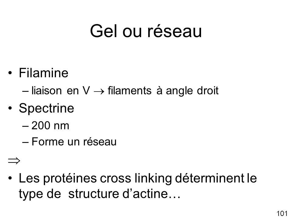 Gel ou réseau Filamine Spectrine 