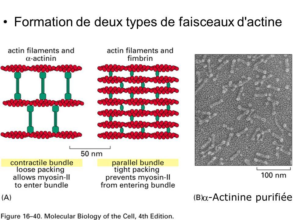 Fig16-40 Formation de deux types de faisceaux d actine