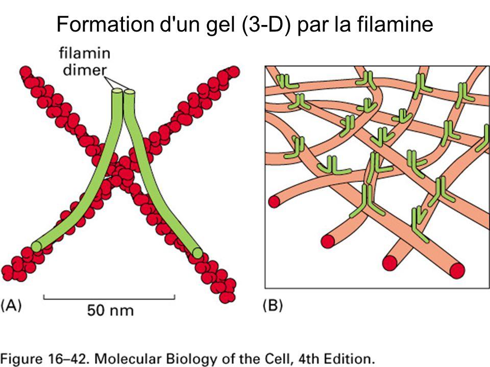 Formation d un gel (3-D) par la filamine