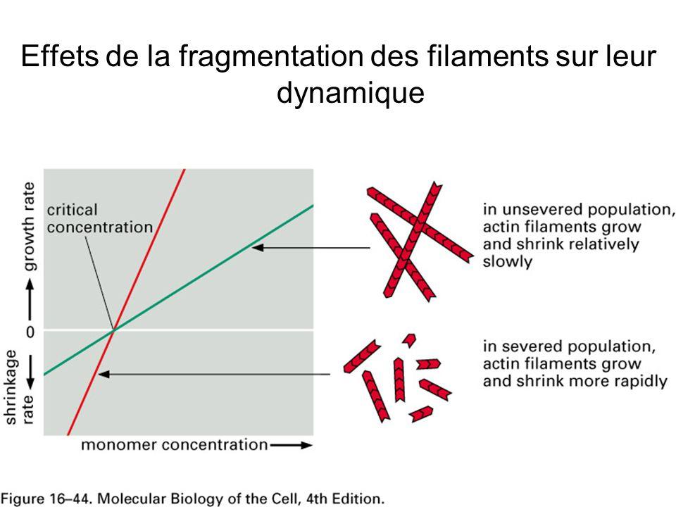 Effets de la fragmentation des filaments sur leur dynamique