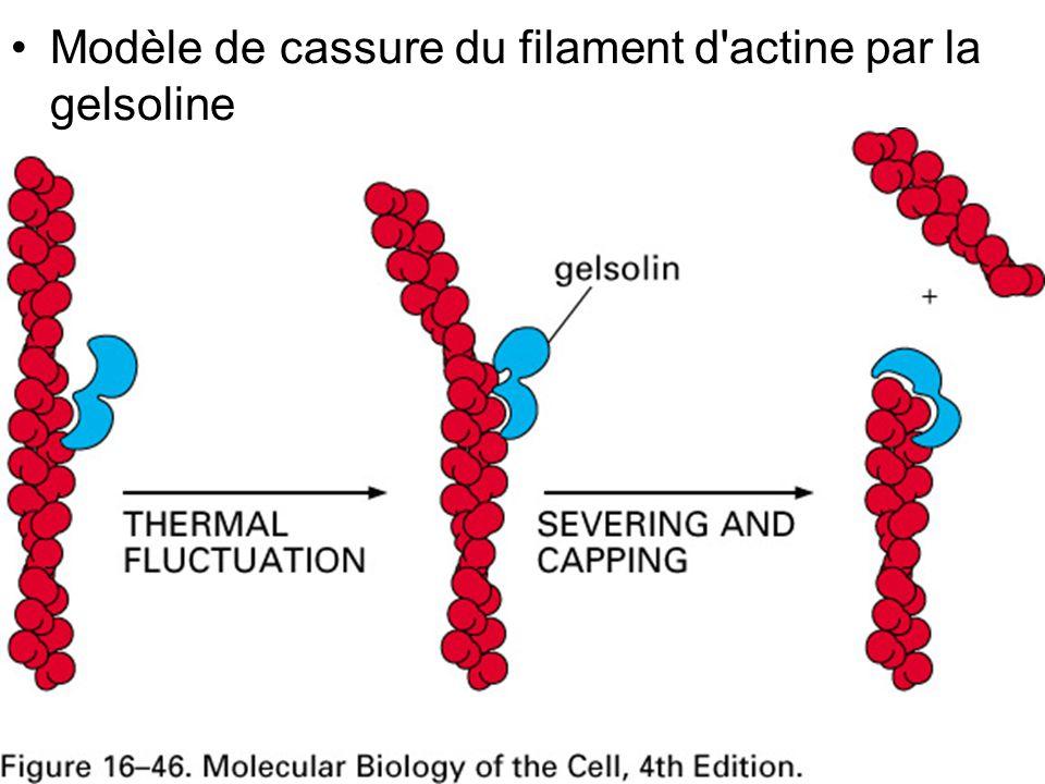 Fig16-46 Modèle de cassure du filament d actine par la gelsoline