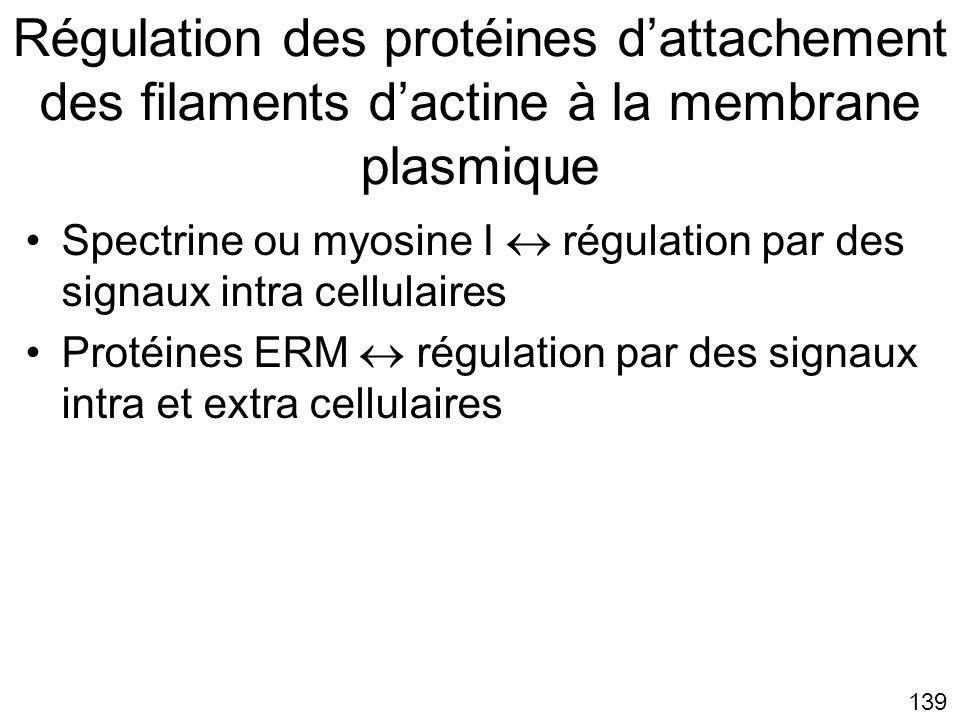 Lundi 22 octobre 2007 Régulation des protéines d'attachement des filaments d'actine à la membrane plasmique.