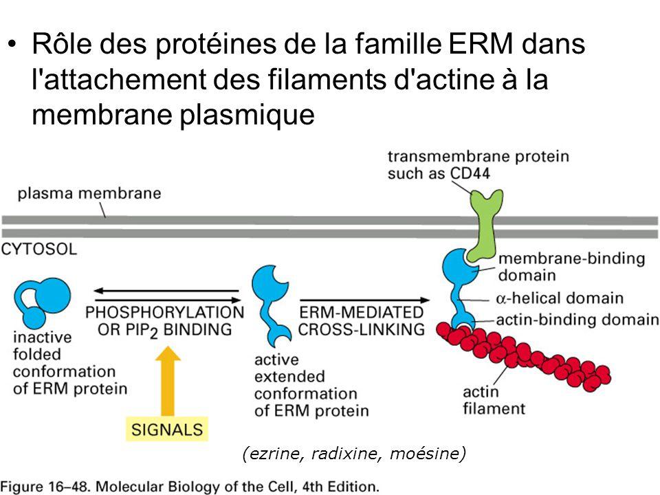 Lundi 22 octobre 2007 Rôle des protéines de la famille ERM dans l attachement des filaments d actine à la membrane plasmique.
