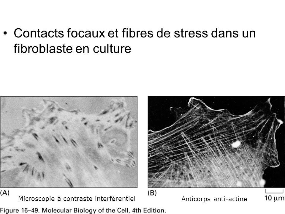 Lundi 22 octobre 2007 Contacts focaux et fibres de stress dans un fibroblaste en culture. Fig16-49.