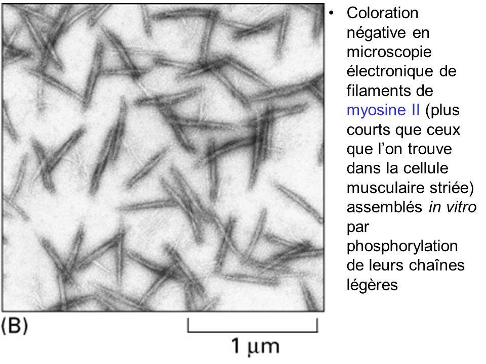Coloration négative en microscopie électronique de filaments de myosine II (plus courts que ceux que l'on trouve dans la cellule musculaire striée) assemblés in vitro par phosphorylation de leurs chaînes légères