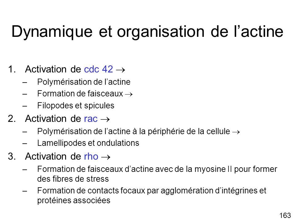 Dynamique et organisation de l'actine