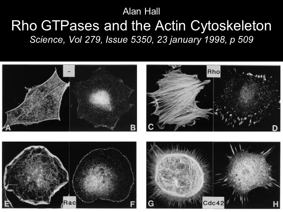 Alan Hall Rho GTPases and the Actin Cytoskeleton Science, Vol 279, Issue 5350, 23 january 1998, p 509