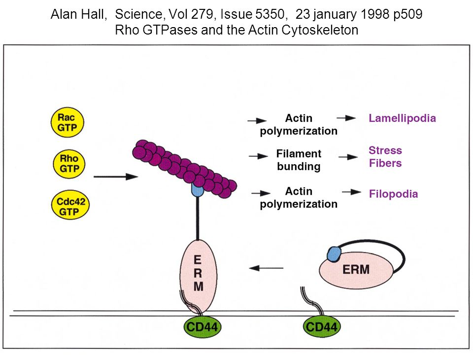 Alan Hall, Science, Vol 279, Issue 5350, 23 january 1998 p509 Rho GTPases and the Actin Cytoskeleton