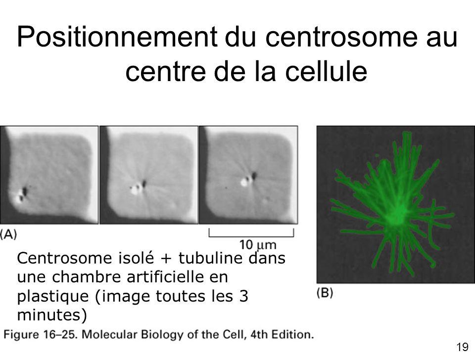 Positionnement du centrosome au centre de la cellule