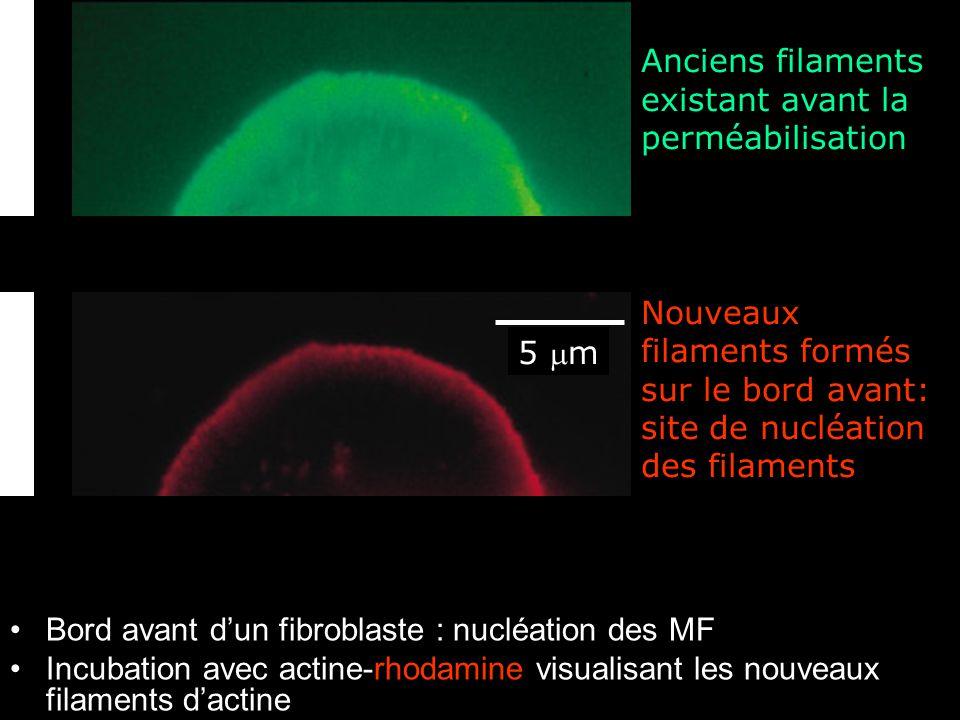 Fig16-27 Anciens filaments existant avant la perméabilisation
