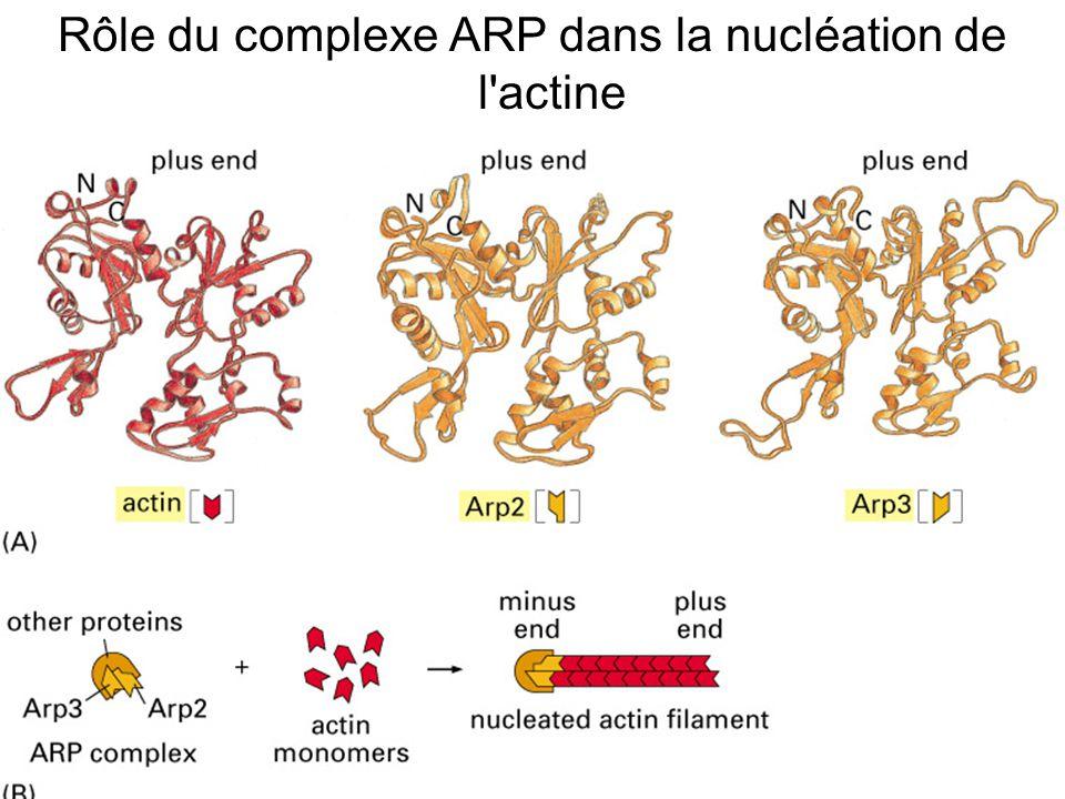 Rôle du complexe ARP dans la nucléation de l actine