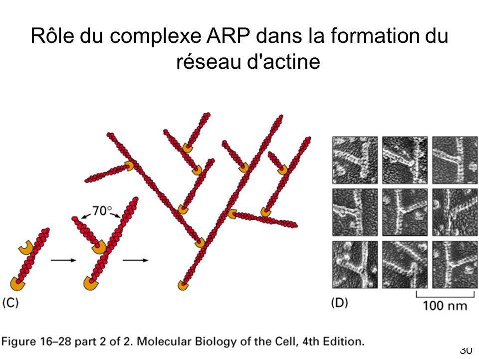 Rôle du complexe ARP dans la formation du réseau d actine