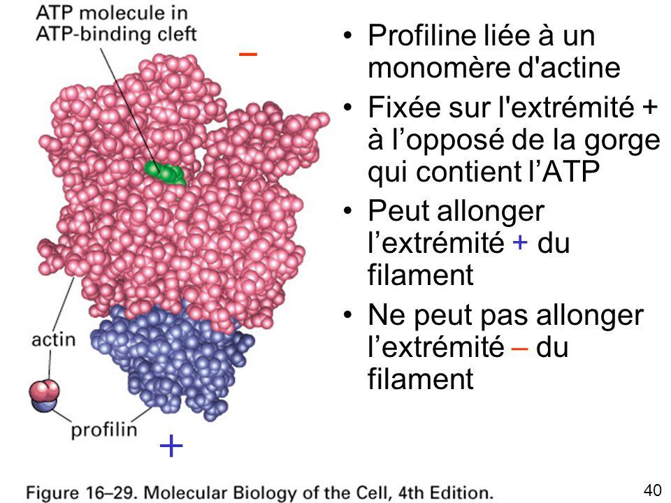 Fig16-29 – + Profiline liée à un monomère d actine
