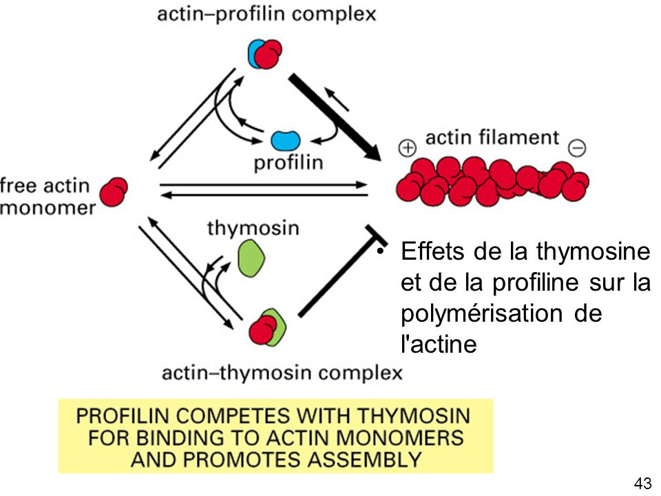 Lundi 22 octobre 2007 Effets de la thymosine et de la profiline sur la polymérisation de l actine. Fig16-30(2)
