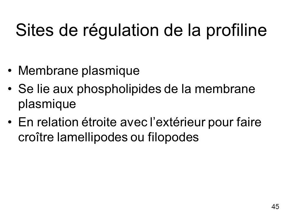 Sites de régulation de la profiline