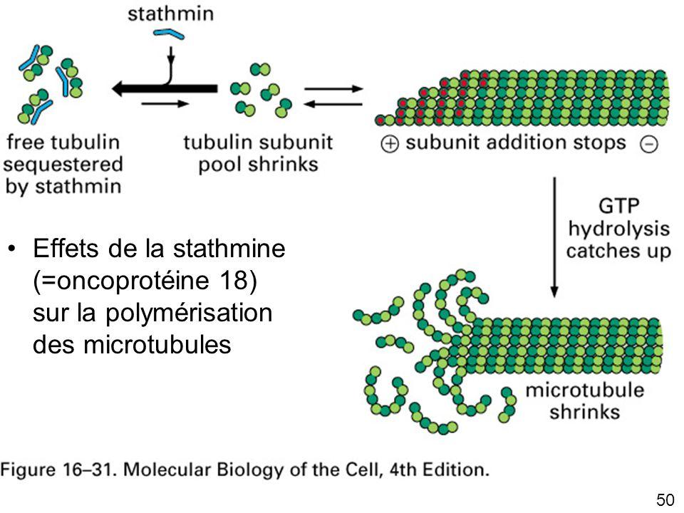 Lundi 22 octobre 2007 Effets de la stathmine (=oncoprotéine 18) sur la polymérisation des microtubules.