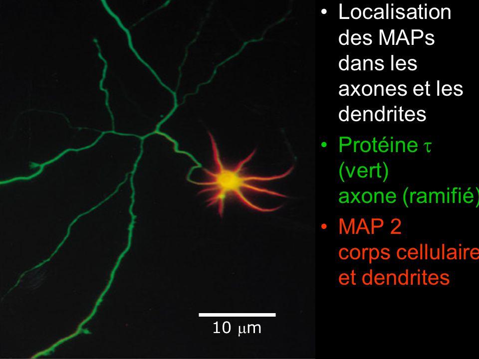 Fig16-32 Localisation des MAPs dans les axones et les dendrites