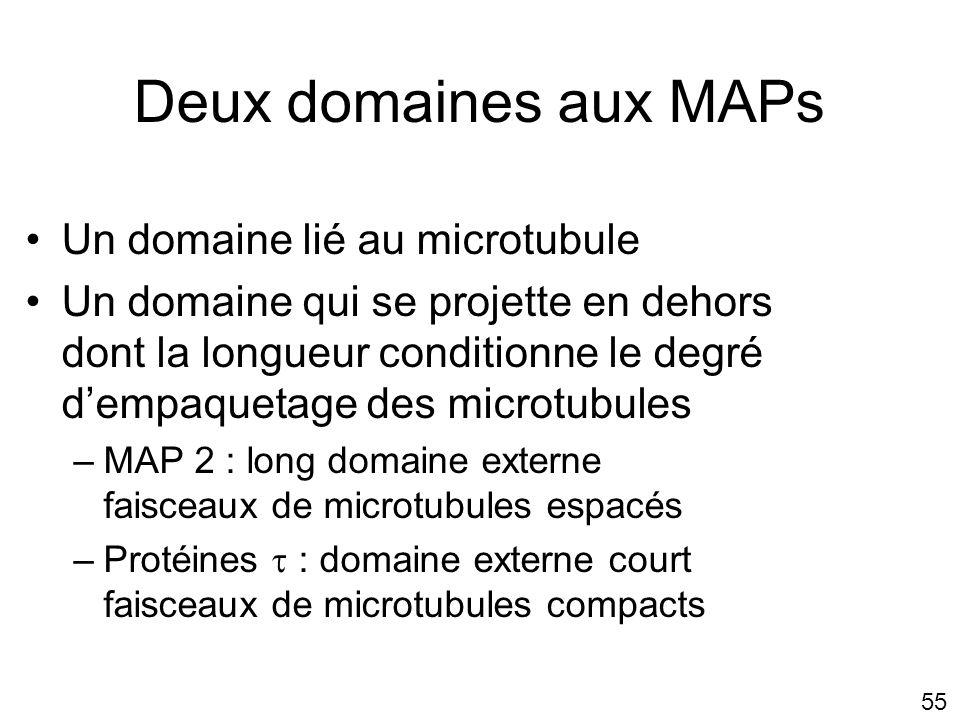 Deux domaines aux MAPs Un domaine lié au microtubule