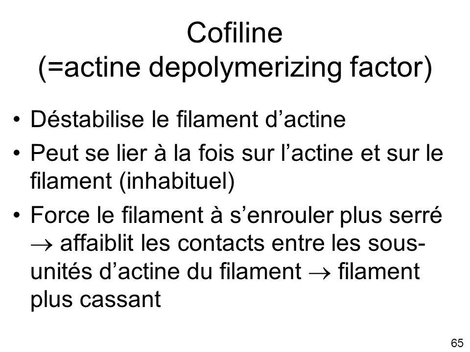 Cofiline (=actine depolymerizing factor)