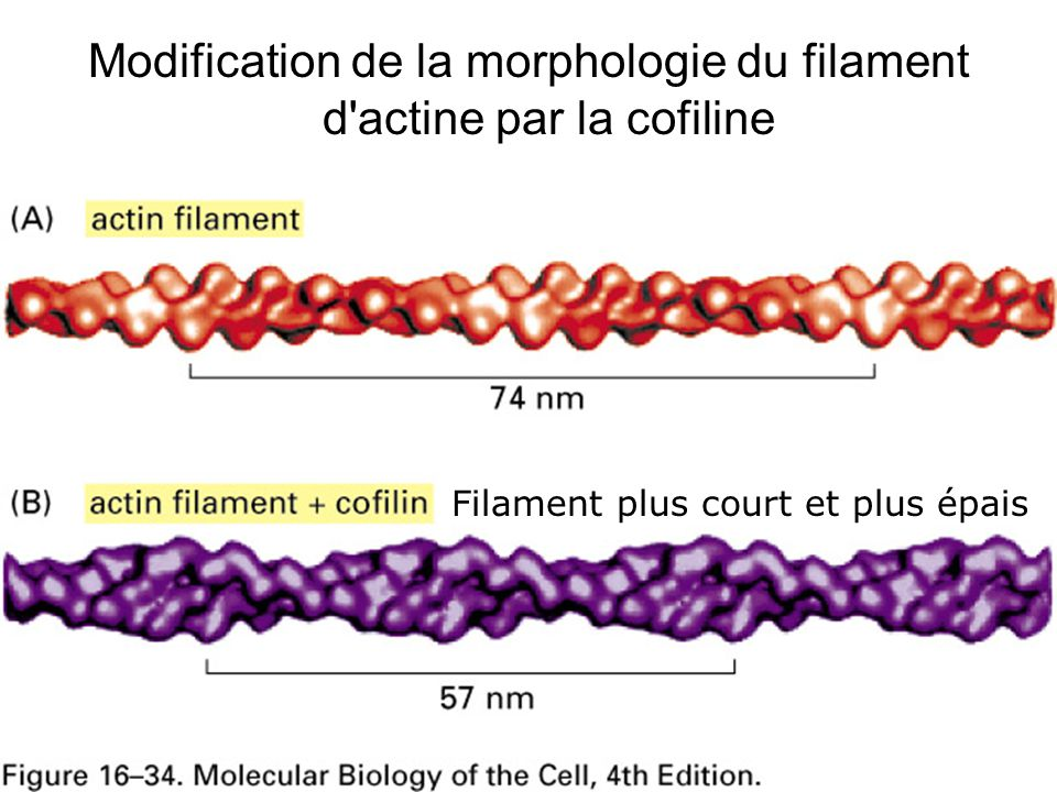 Lundi 22 octobre 2007 Modification de la morphologie du filament d actine par la cofiline. Fig16-34.